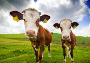 Hãy giết ngay con bò quý giá của bạn
